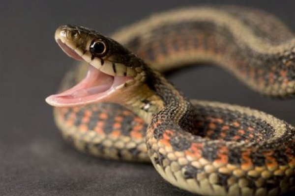 Этим летом змеи покусали 11 минчан
